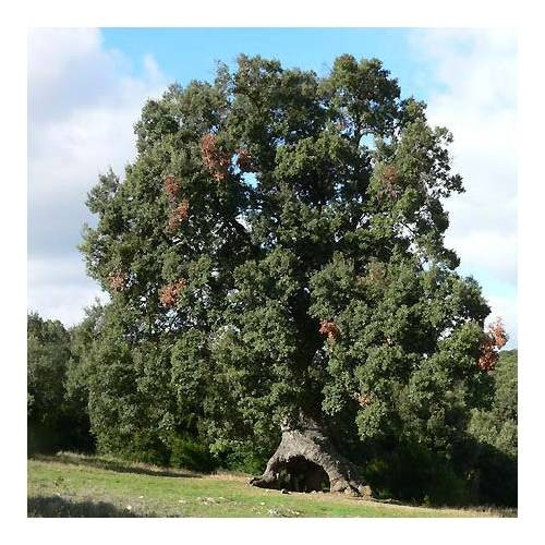 Encina - apadrinar un árbol